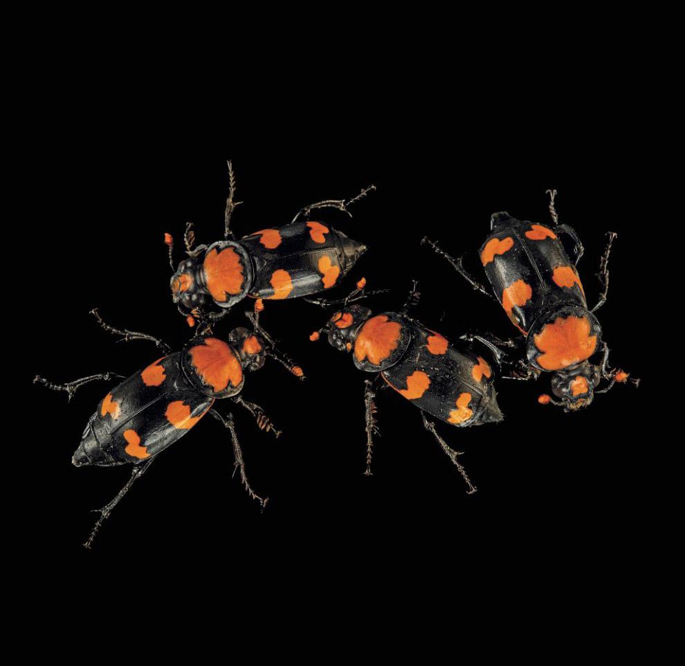 Жук-могильник, Nicrophorus americanus (що знаходяться на межі повного зникнення, CR):