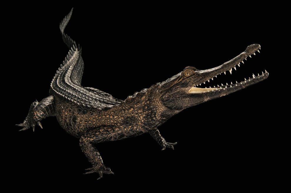 Африканський узкорилий крокодил, Mecistops cataphractus (що знаходяться на межі повного зникнення, CR):