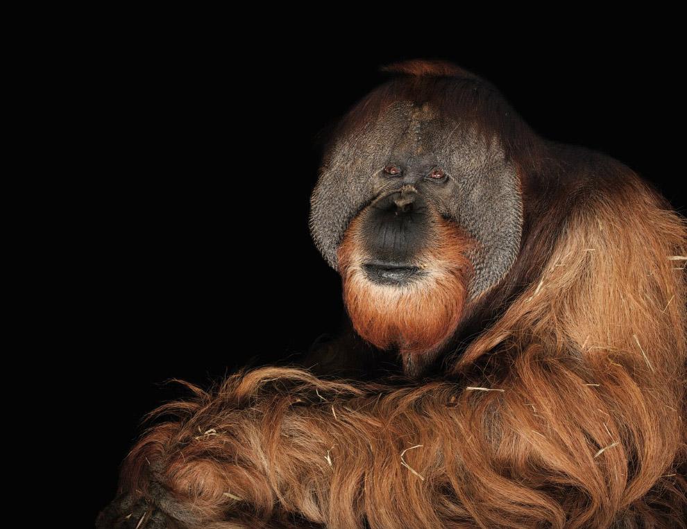 Суматранский орангутан, Pongo abelii (находящиеся на грани полного исчезновения, CR):