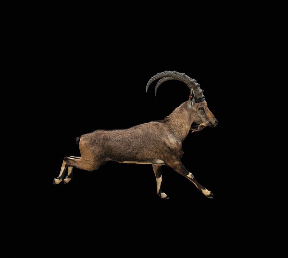 Нубийский гірський козел, Capra nubiana (вразливі, VU):