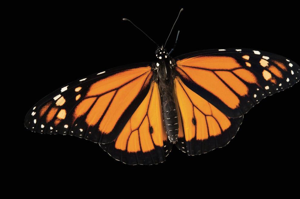 Мигрирующие виды монархов
