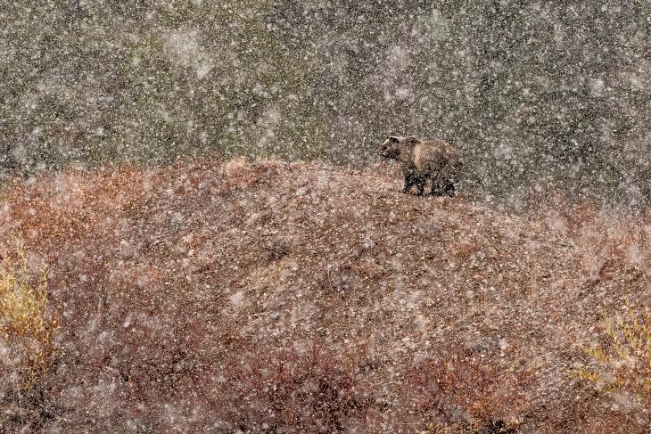 Победитель в категории «Млекопитающие»: снимок с названием «Под снегом»