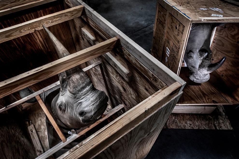 Заключенные носороги в ящиках