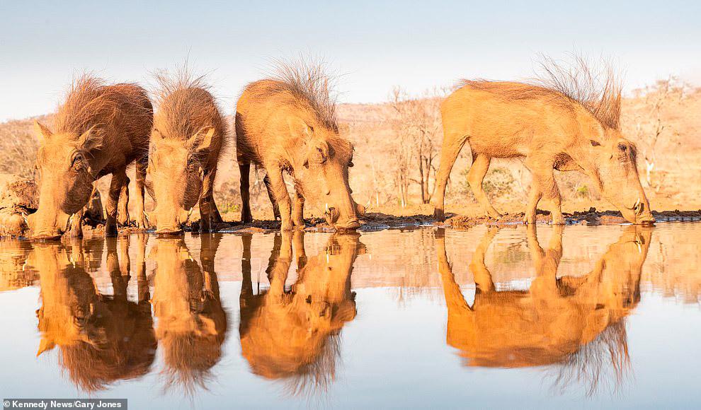 Настоящий Пумба из Короля льва