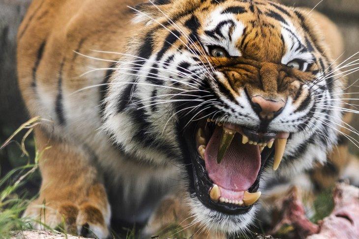 Тигр с золотым зубом и стоматологи