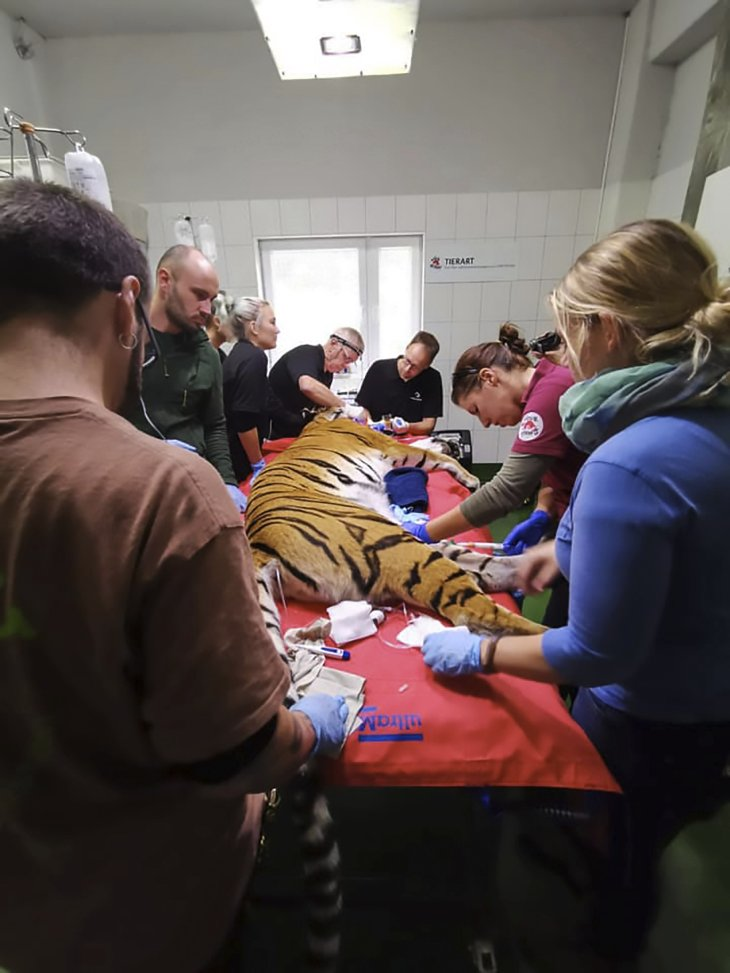Tiger with a gold tooth and dentists