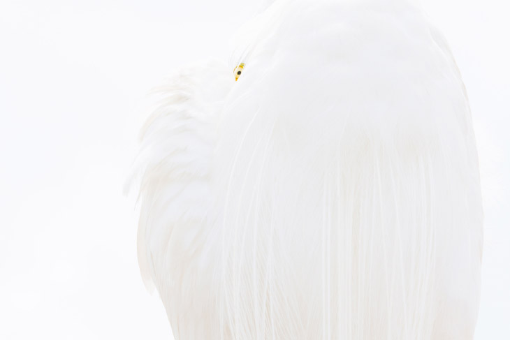 Велика біла чапля