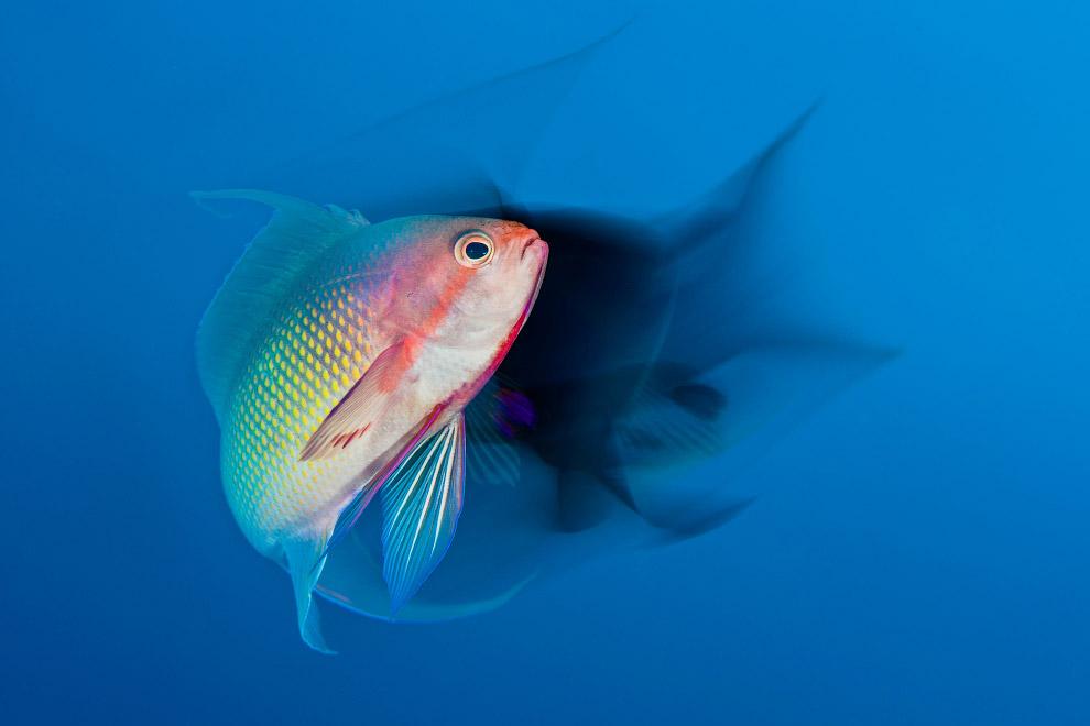 Рыбка Pseudanthias squamipinnis исполняет брачный танец