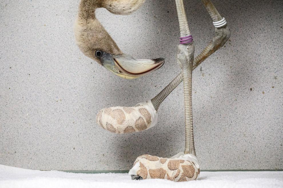 Фламинго на приеме у ветеринара