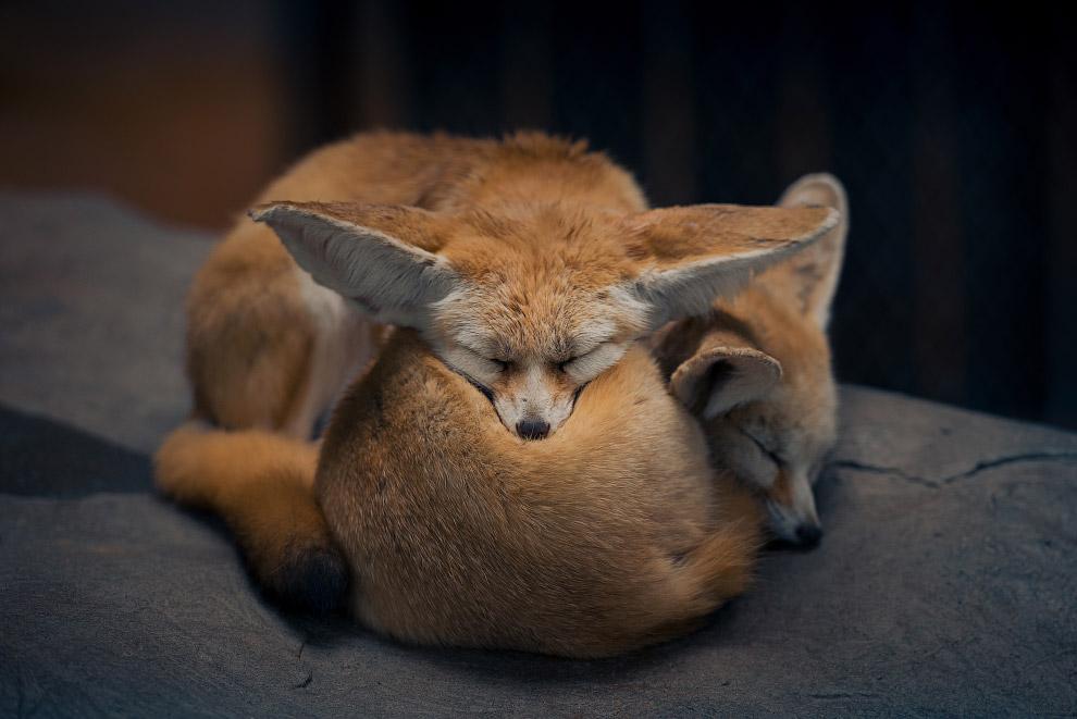 Спящие лисицы в парке дикой природы в Шанхае, Китай