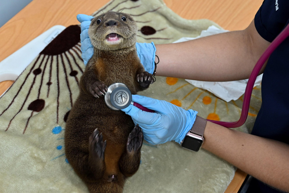 A veterinarian inspects river otters