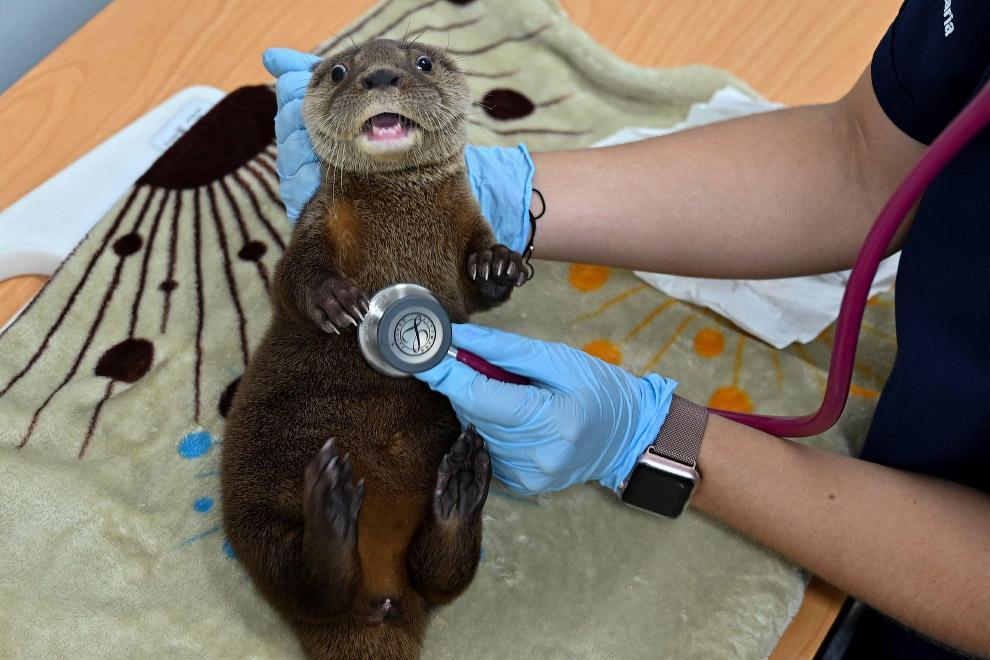 Ветеринар осматривает речную выдру