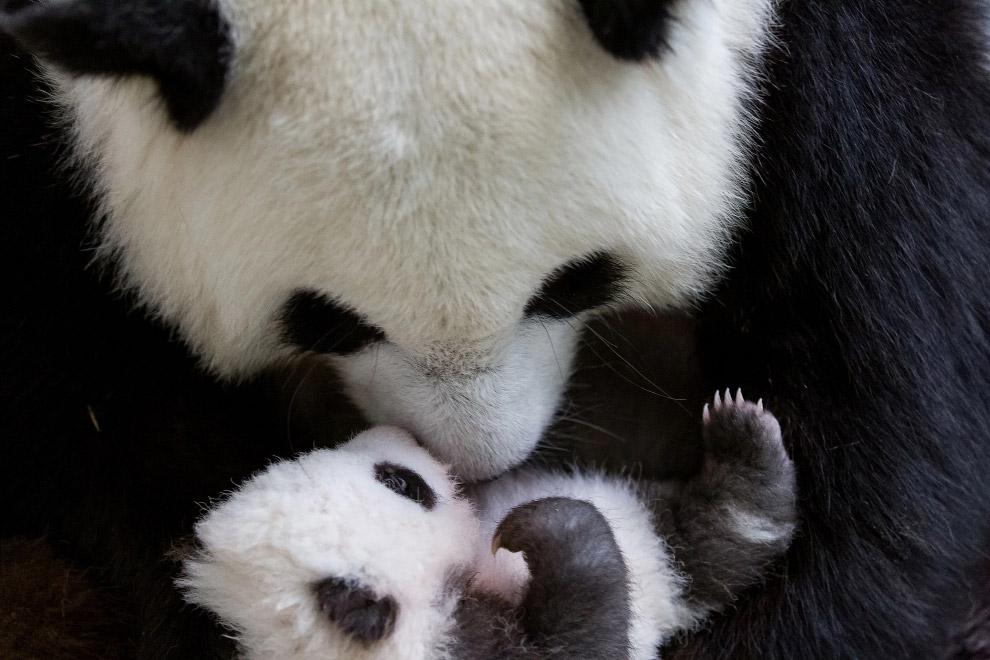 Детеныш панды с мамой в зоопарке в Берлине, Германия