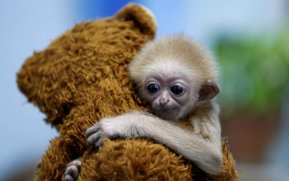 The two-month baby gibbon