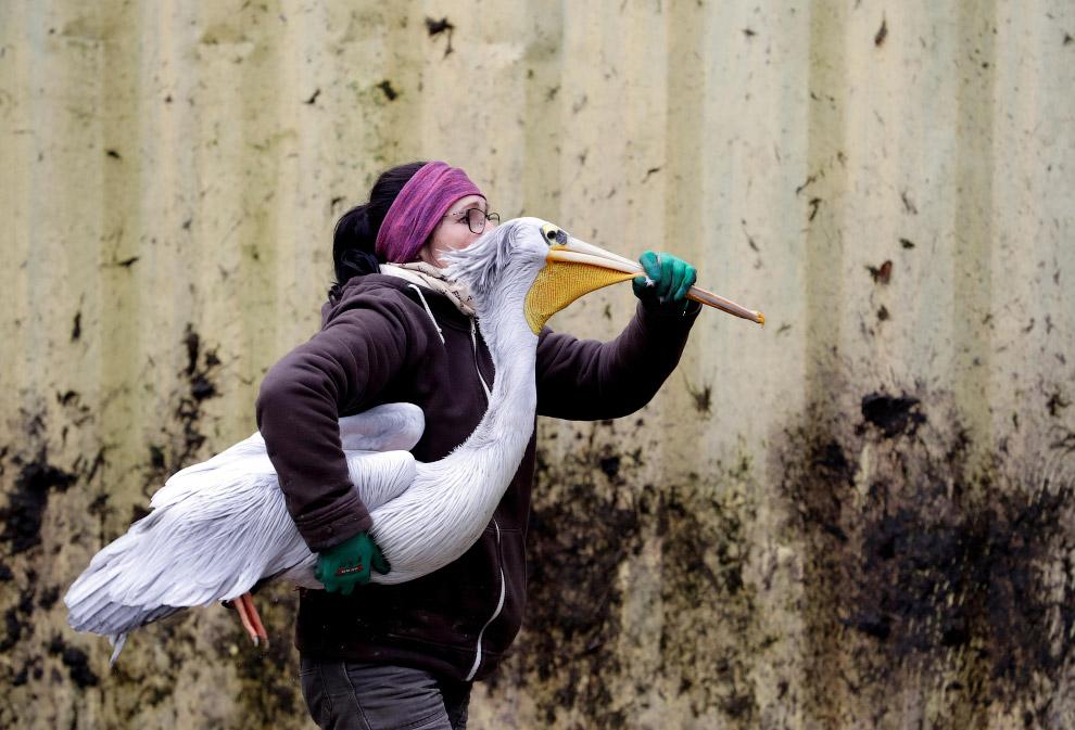 Переноска пеликана из вольера в вольер в зоопарке в Чехии
