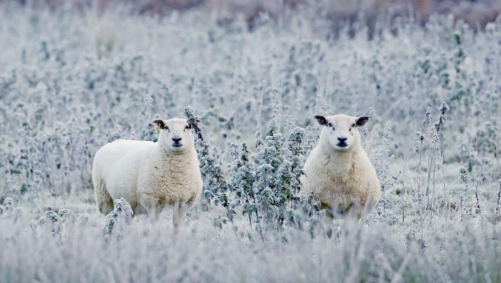 Овечки в снежной Ирландии