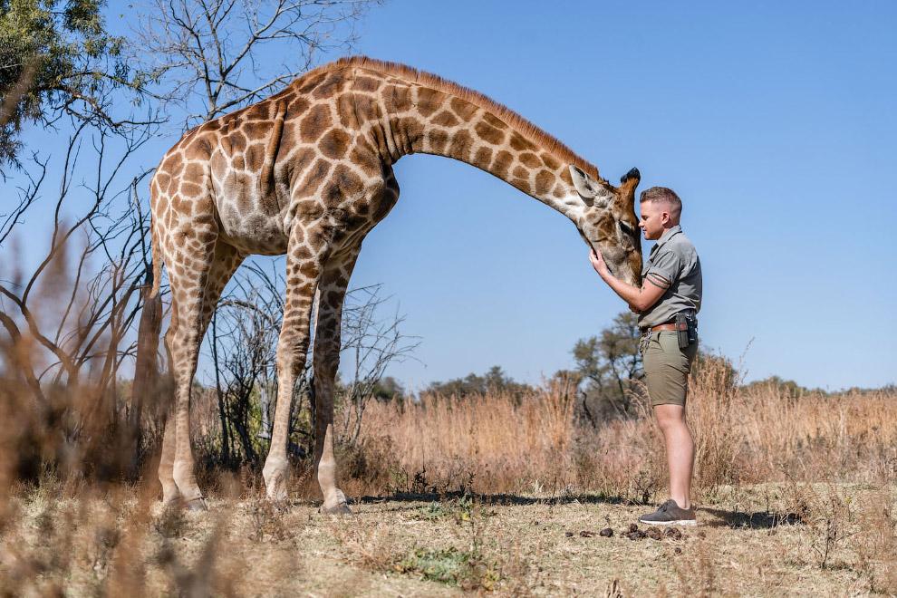 Жираф в заповеднике в Южной Африке