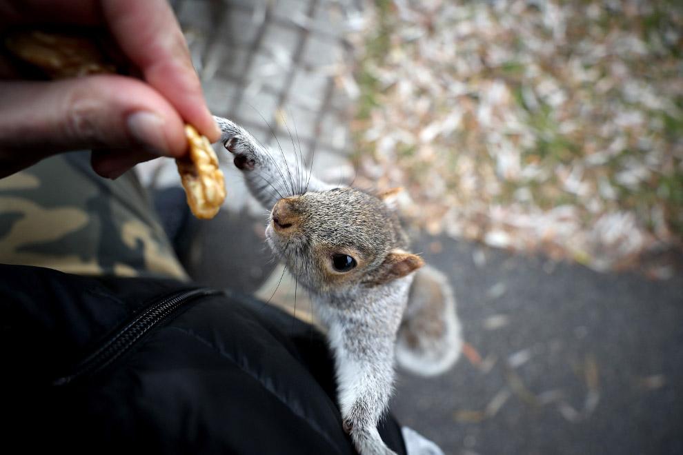Белка тянется за грецким орехом в Бостонском сквере в Бостоне