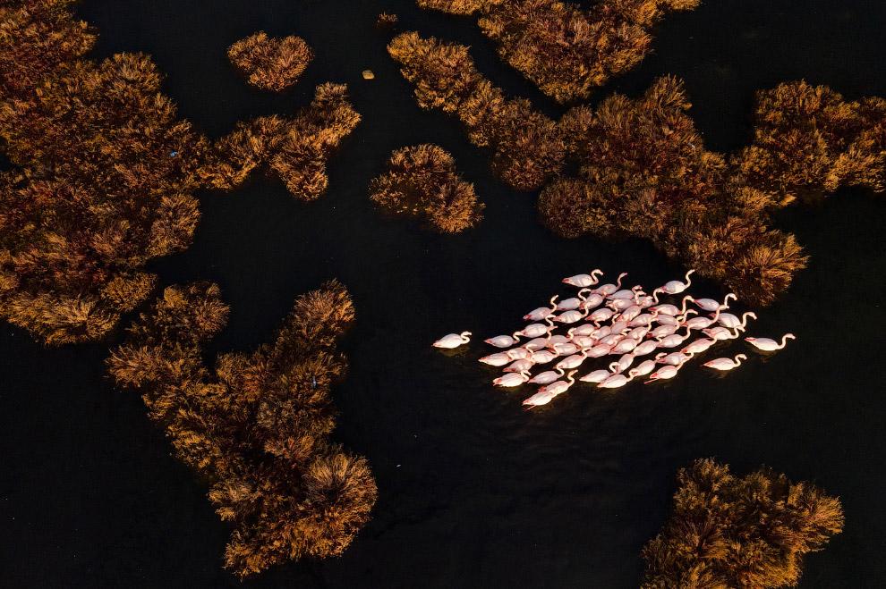 Фламинго на побережье Инциралти в Измире, Турция