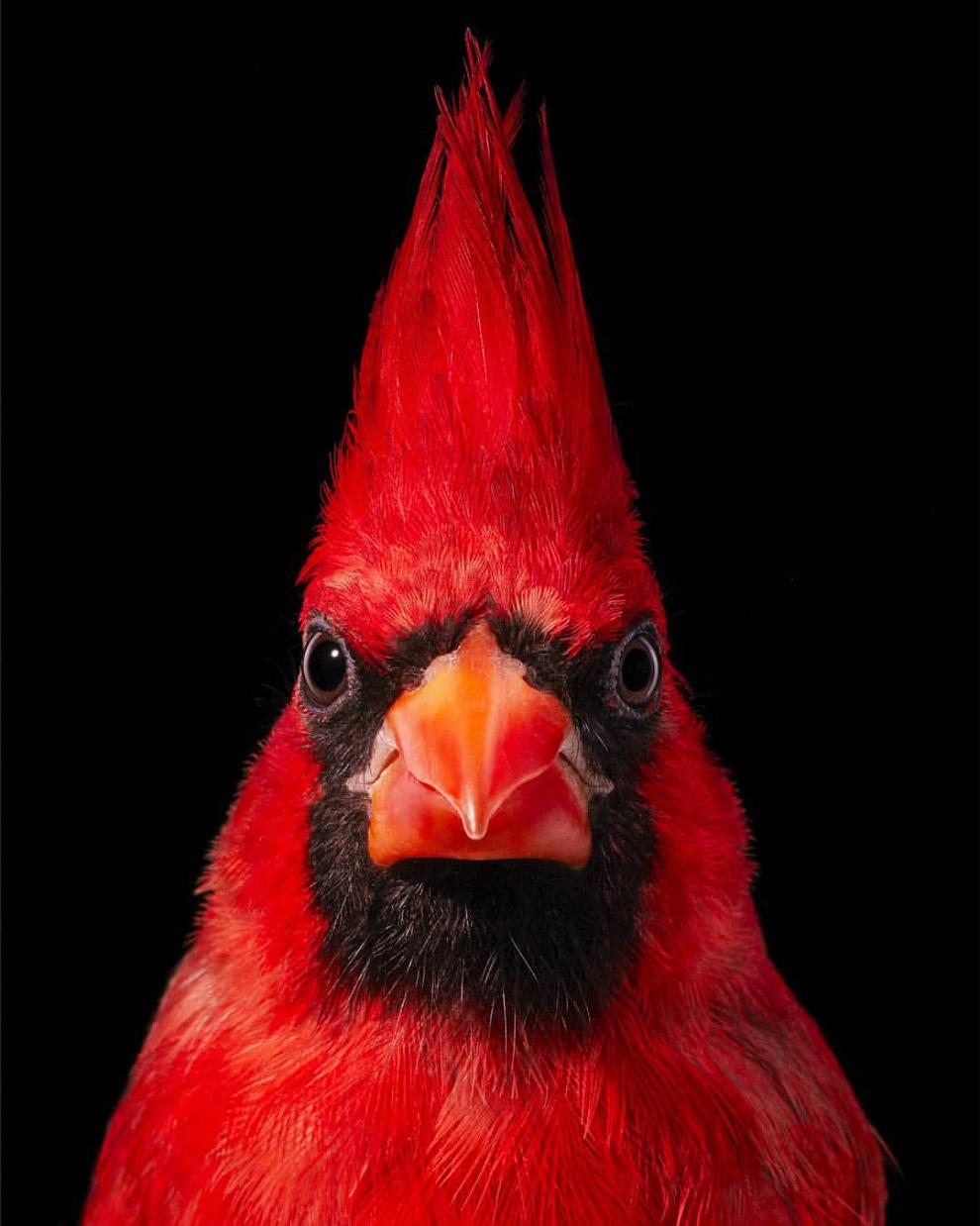 Красный кардинал.
