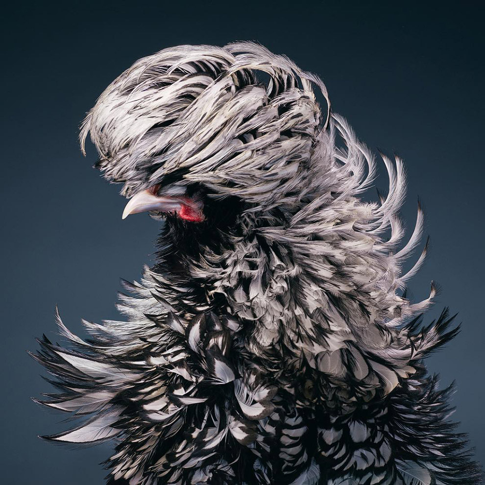 Silver-laced Rooster