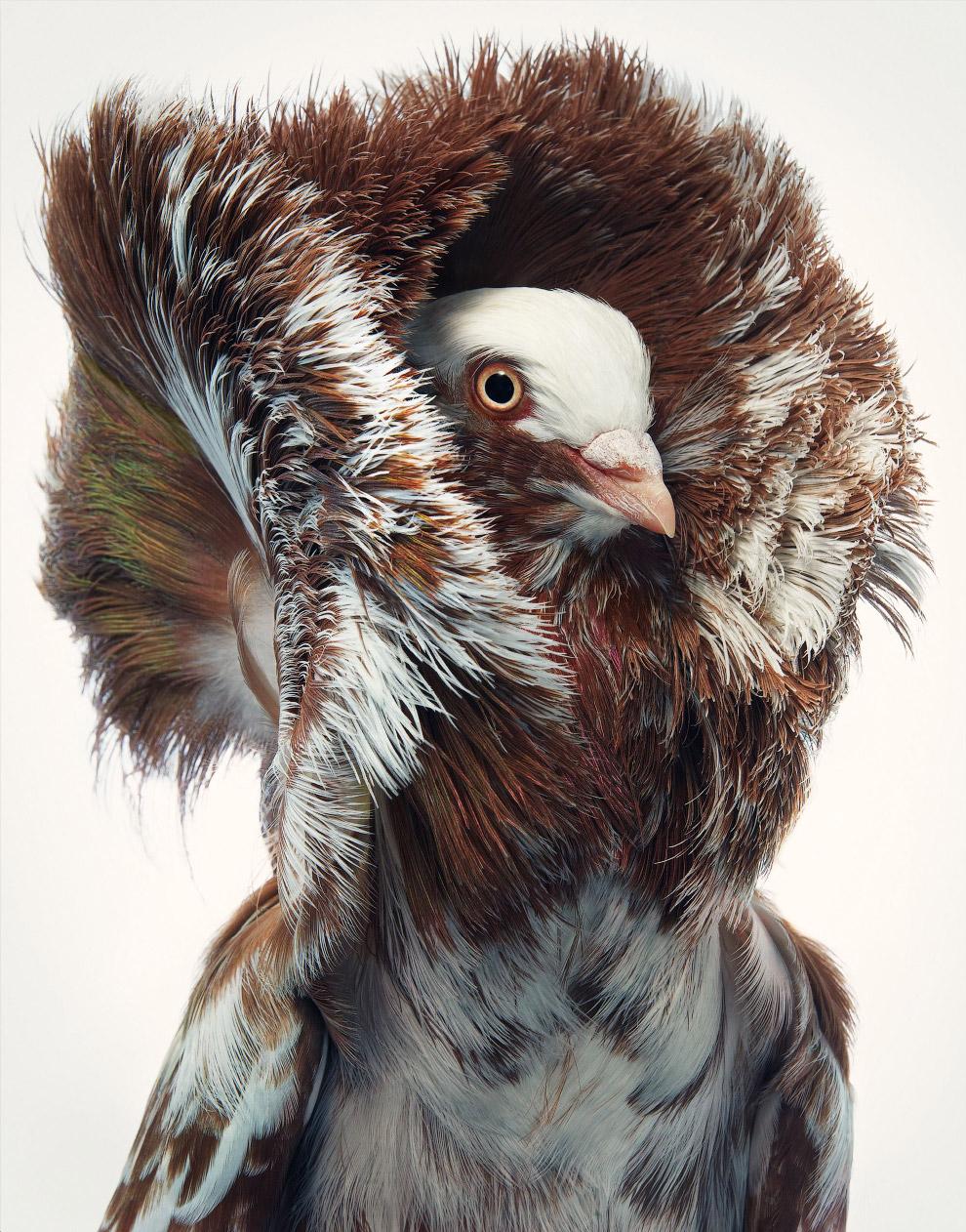 красный голубь якобин