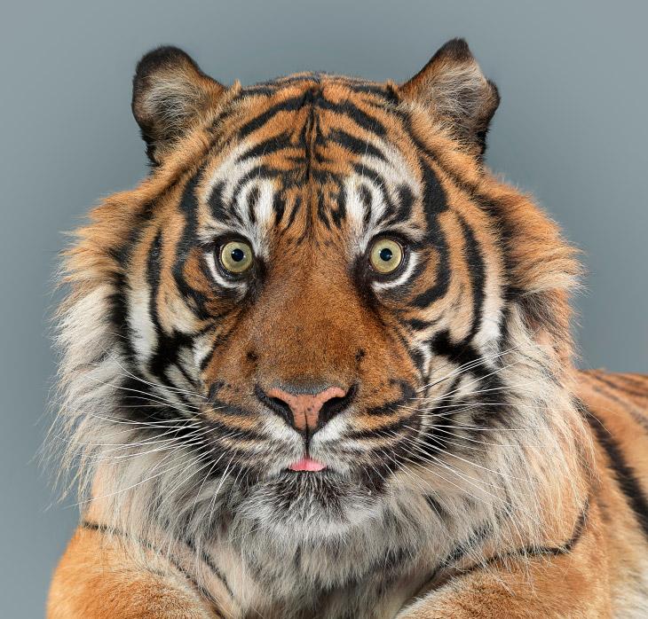 Потрясающие портреты больших кошек