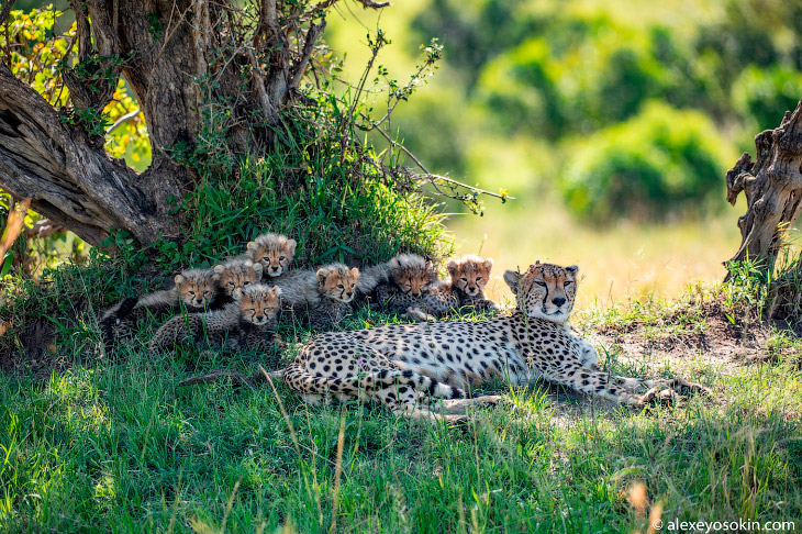Cheetah and seven kittens!  rare event