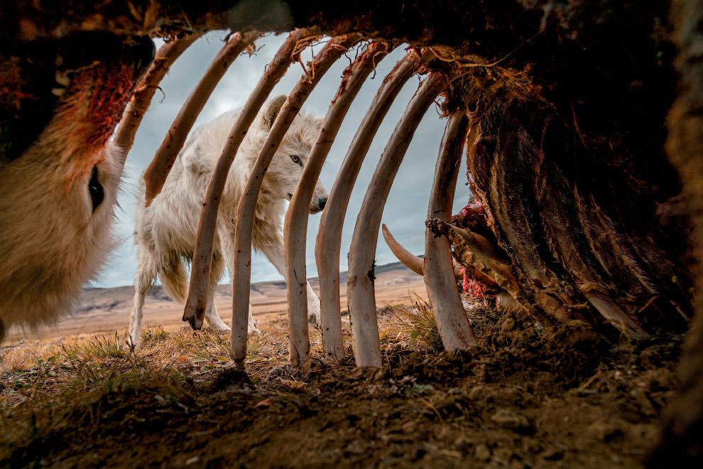Волки в канадской Арктике исследуют остатки овцебыка