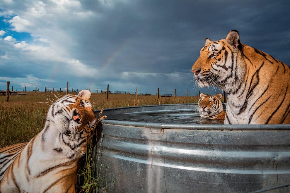 Три тигра заповіднику диких тварин в Кінесбурге, штат Колорадо