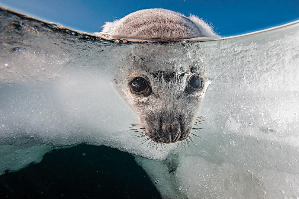 Любопытный гренландский тюлененок