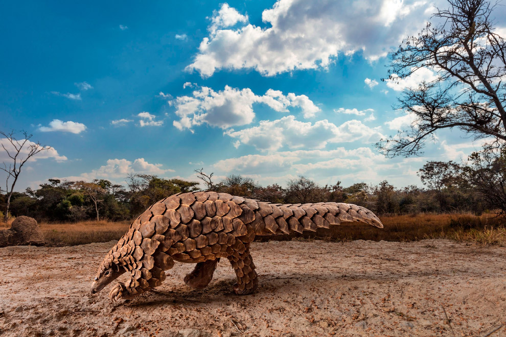 Pangolin is looking for ants or termites for breakfast