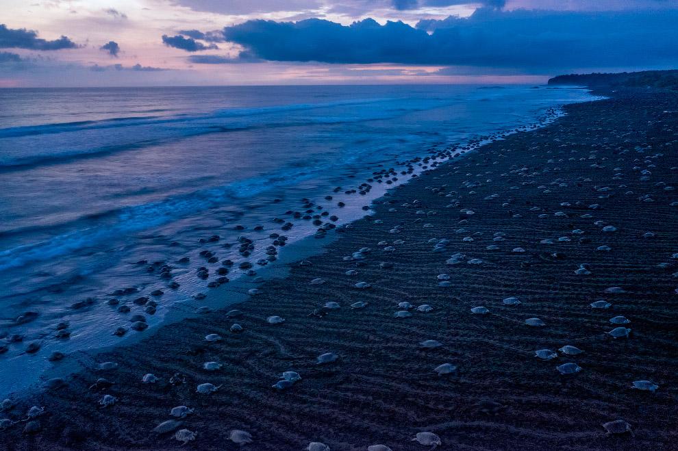 тысяч морских черепах Ридли