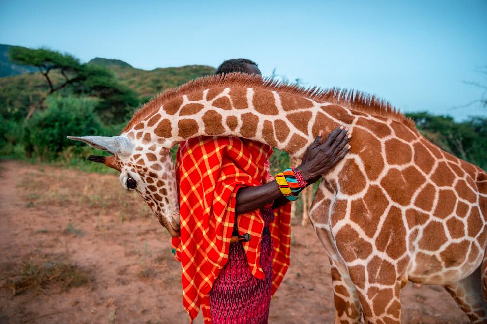 Осиротевший жираф на севере Кении