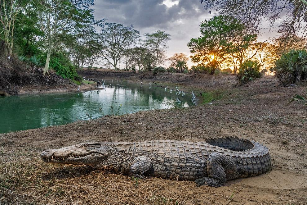 Крокодил отдыхает в Мозамбикском национальном парке