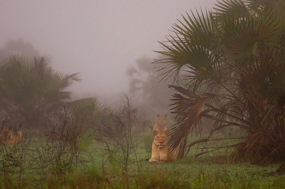 Львы в отдаленном районе зоны дельты Замбезе
