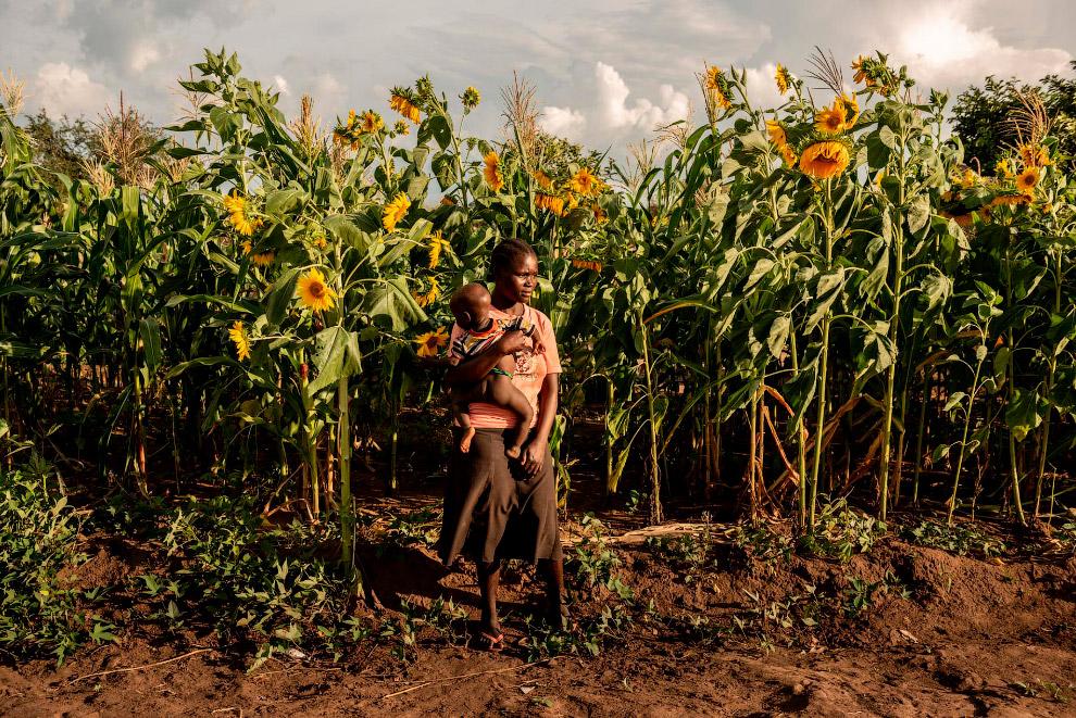 Поле подсолнечника в лагере беженцев Бидибиди в Уганде