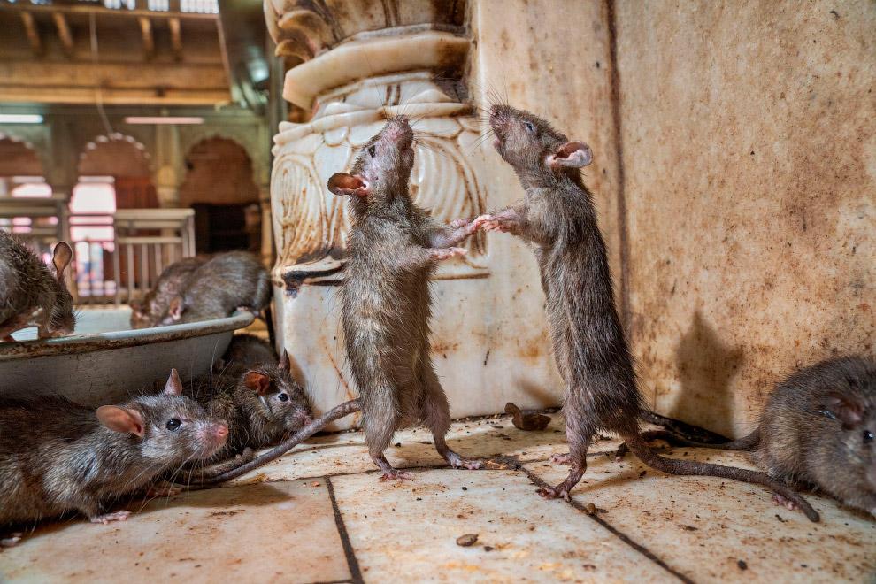 Крысиное танго