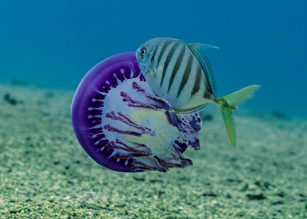 Медуза и рыбка Carangoides ferdau