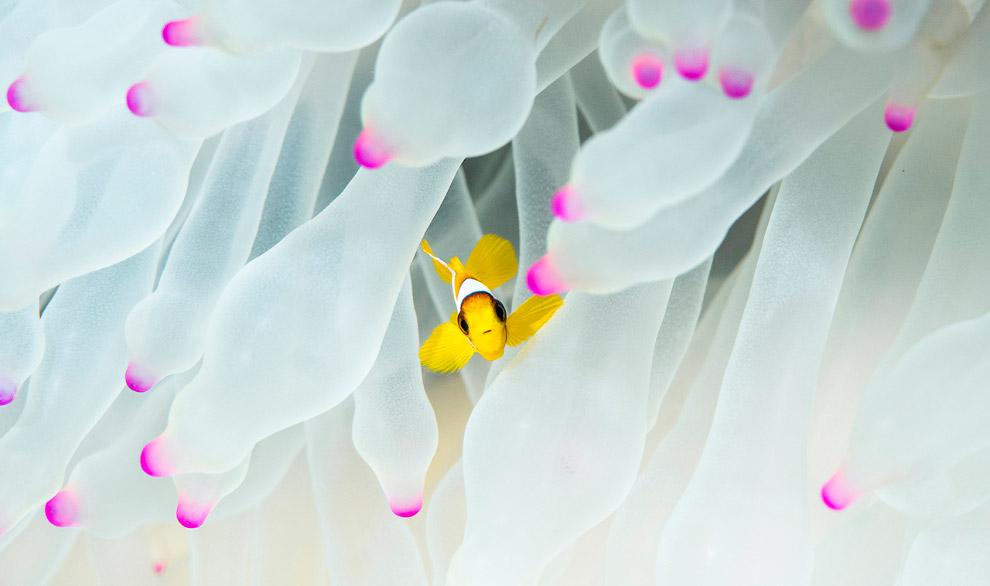 Риба-клоун Червоного моря