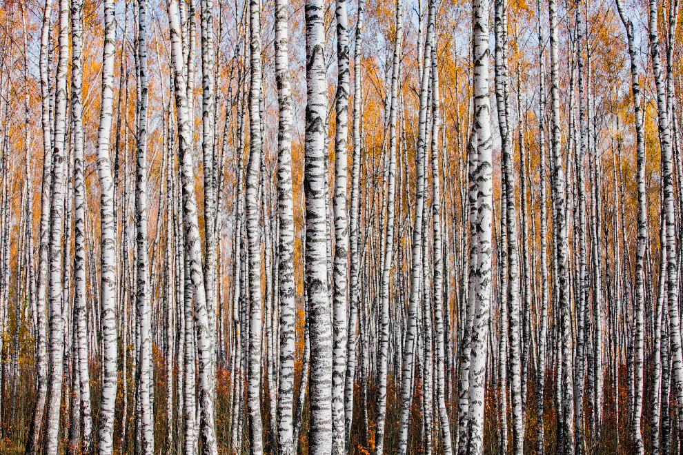 Осенний лес в Могилевской области, Беларусь