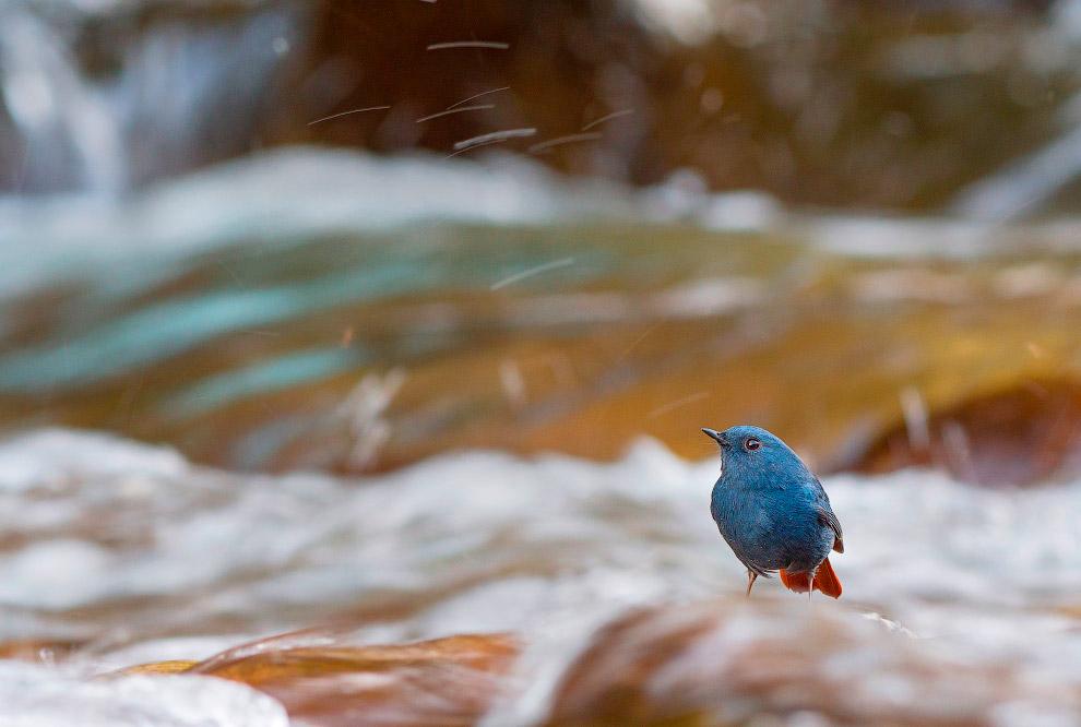 Сизая горихвостка  живет на водоёмах с высокой концентрацией насекомых