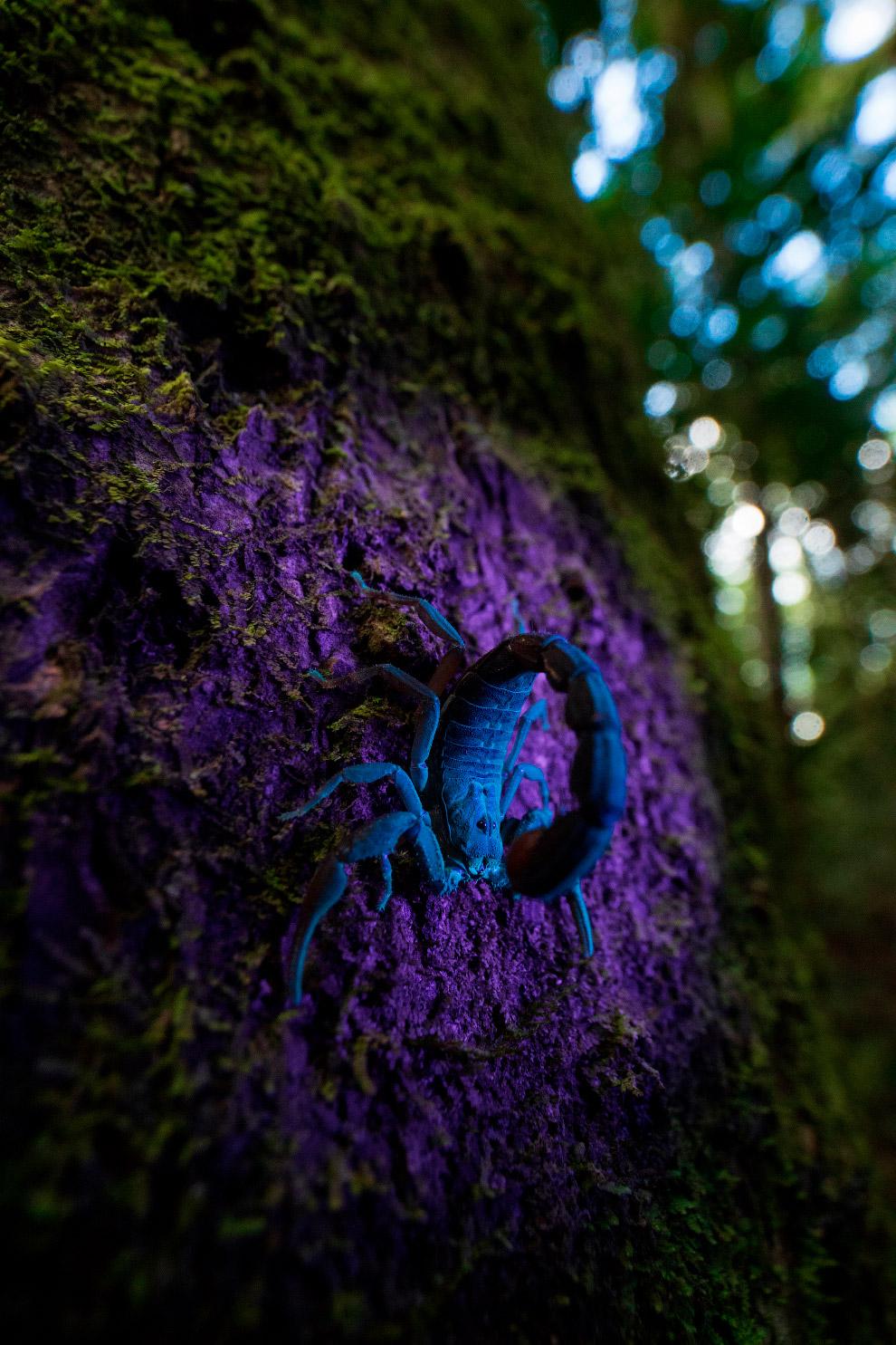 Маленький скорпион светится под ультрафиолетовым светом