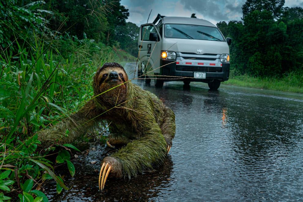 Ленивец на полуострове Оса, Коста-Рика