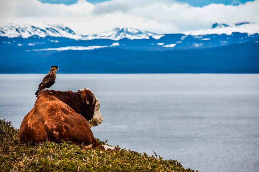 Хищная птица устроила наблюдательный пункт на корове