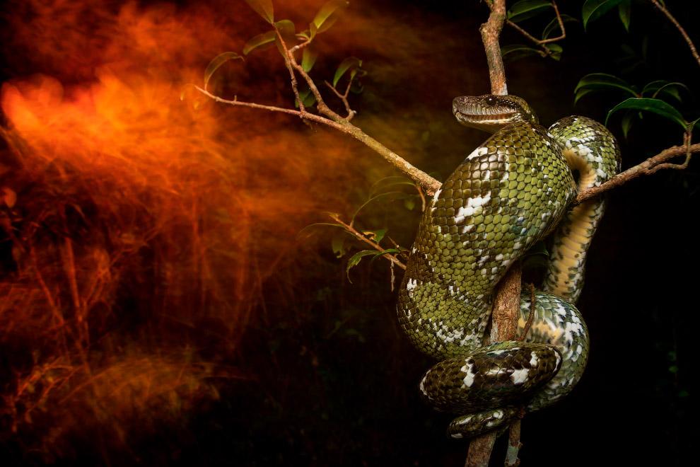 Абсолютный победитель конкурса. Неядовитая змея на дереве, Мадагаскар
