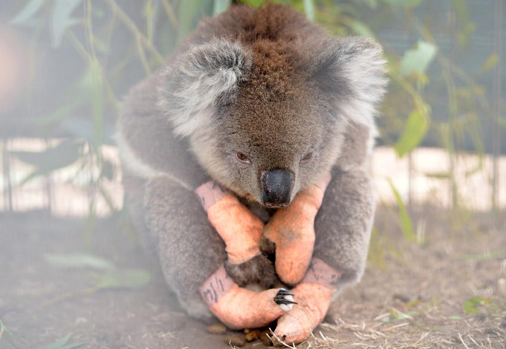 Травмированная коала