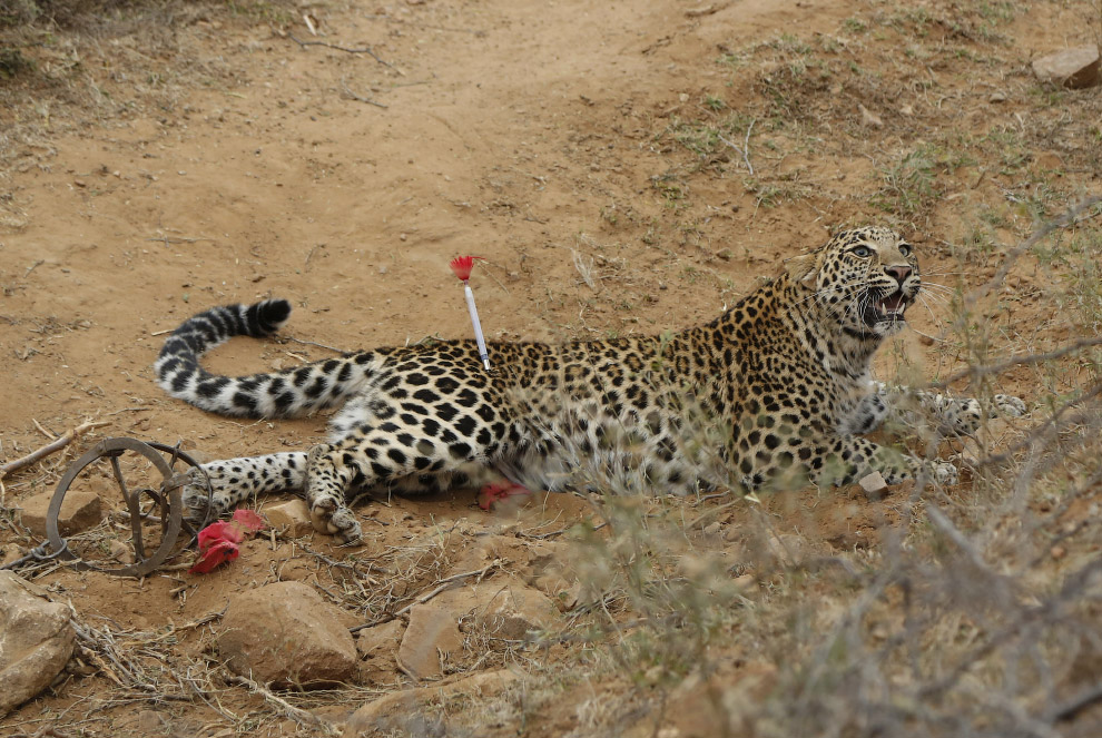 Попавший в чью-то ловушку леопард