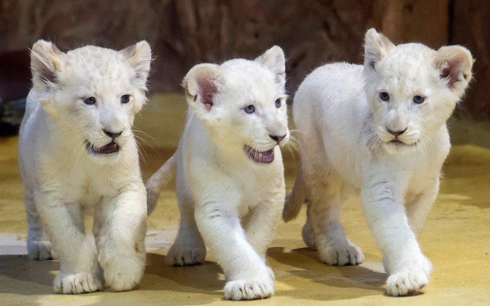 Белые львята в зоопарке в Магдебурге, Германия