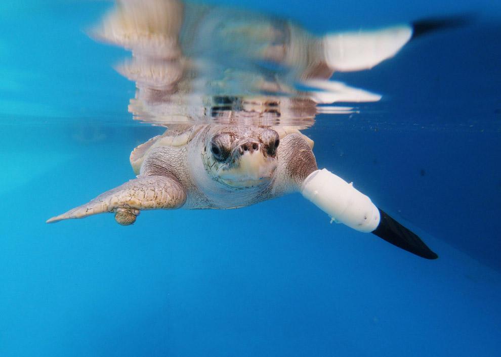Черепаха по имени Гуди тестирует протез
